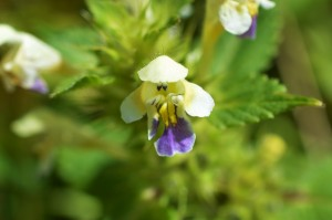 Large-flowered Hemp-Nettle (Galeopsis speciose) - Oisín Duffy